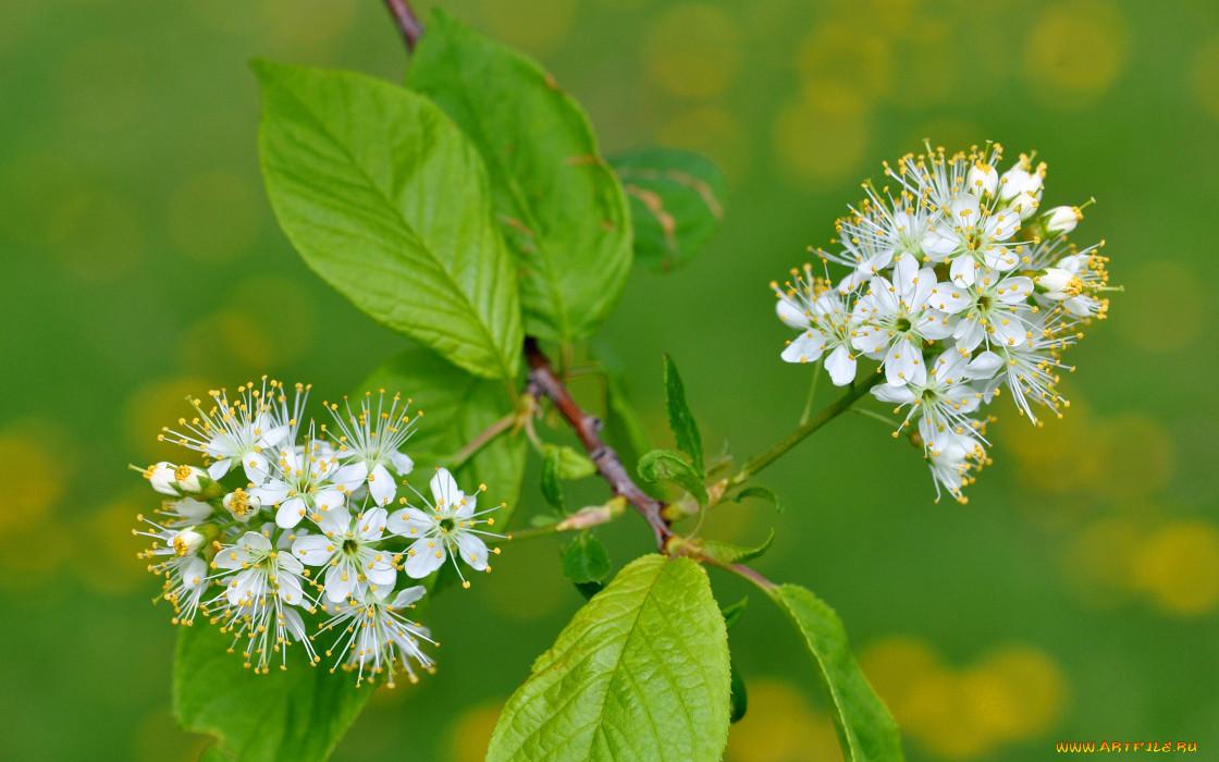 цветы, цветущие деревья ,  кустарники, ветка, лепестки, листья, природа